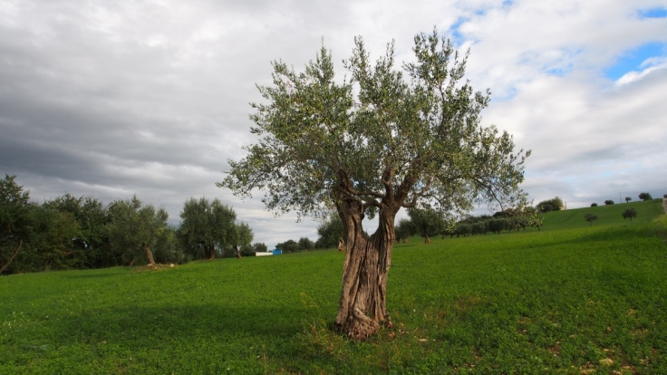 Walks near Casale Centurione - an olive tree