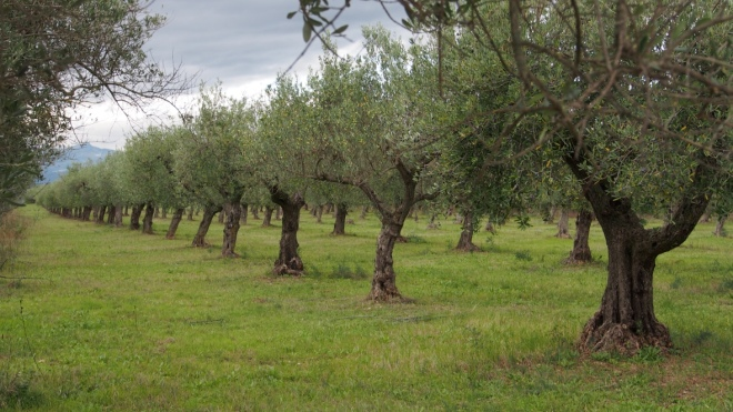 Walks near Casale Centurione - olive