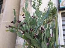 During our month in Lecce I watched the cactus flowers start to form.